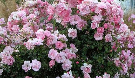 Шрабы - кустарниковые розы