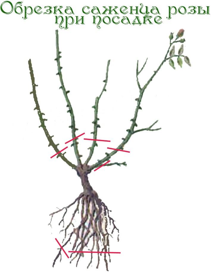 Обрезка плетистые розы уход и выращивание 24