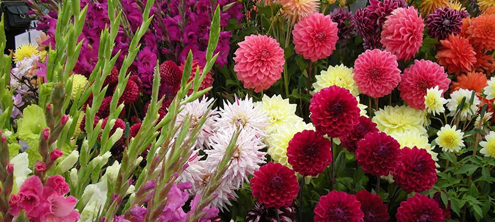 Гладиолусы очень красивые цветы и их достаточно легко выращивать.