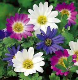 Заказать по почте цветы луковичные многолетние — pic 1