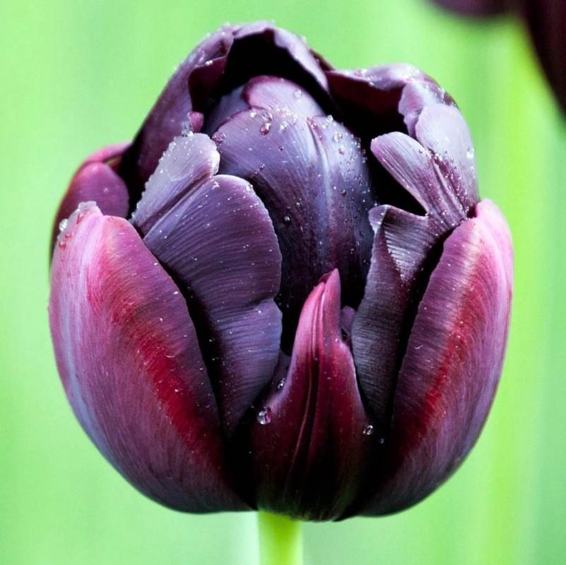 Фото с тюльпанами блэк хироу