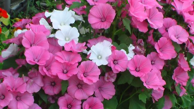семена цветов лаватера